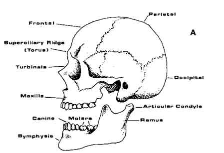 Sloth skull labeled
